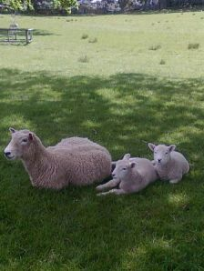 Upper Class Sheep-One Tree Hill