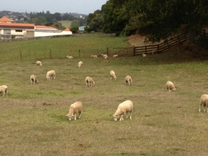 One Tree Hill Sheep 18.03.13