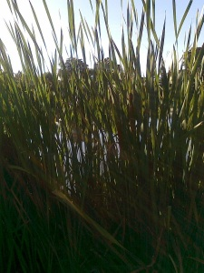 what lies hidden among the rushes?